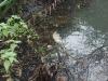 Dead Crane Barbel