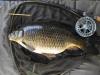 Pin caught Common Carp