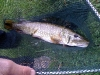 Small Thames Pike
