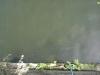 Thames Chub