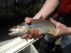 Thames Trout at Molesey
