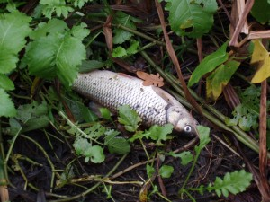 Dead river Crane Chub